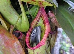 planta carnívora - divulgação