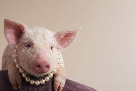 perola porco